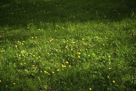Green grass with the vividly yellow dandelions Stock Photo - 4042750