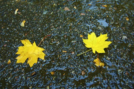 vividly: Wet leaves of vividly yellow on the asphalt