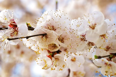 japanese apricot flower: Beautiful tree blooming during March Stock Photo