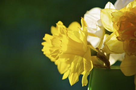 beautiful narcissus in the vase photo