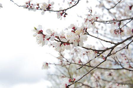 Beautiful tree blooming during April