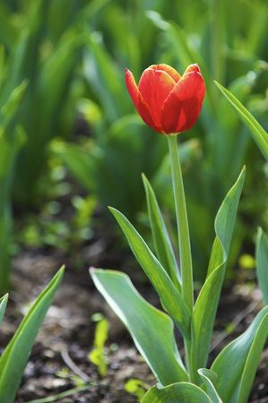 Beautiful spring tulips on a lawn Stock Photo - 4709405