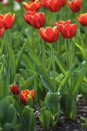 Beautiful spring tulips on a lawn photo
