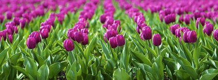 Beautiful spring tulips on a lawn Stock Photo - 4709406