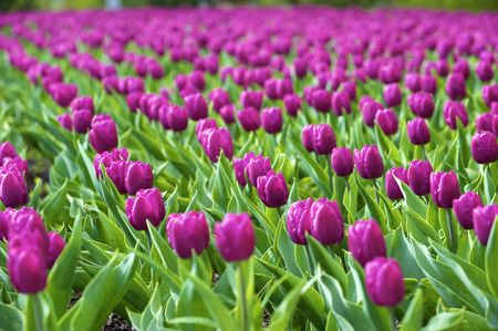 Beautiful spring tulips on a lawn Stock Photo - 4709399