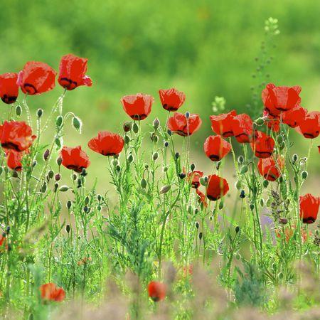 Vessenie fields it is red-allogo a poppy Stock Photo
