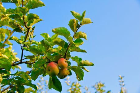 Organic ripe apples ready to pick on tree branches  Stock Photo