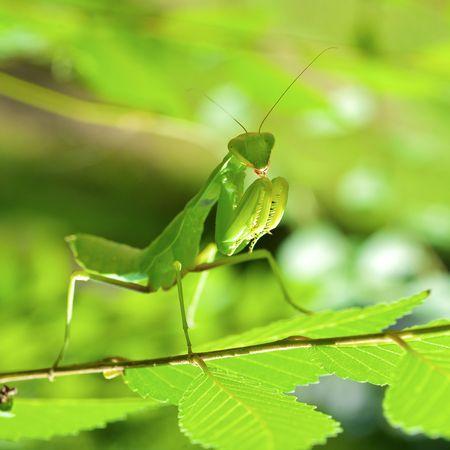 gottesanbeterin: Beten gr�ne Mantis hautnah Lizenzfreie Bilder