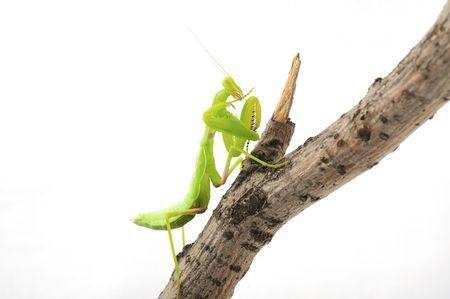 Praying green Mantis close up