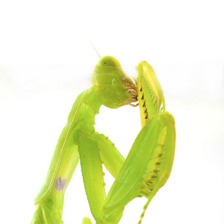 assail: Praying green Mantis close up