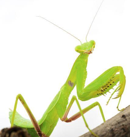 gottesanbeterin: Beten green Mantis close up Lizenzfreie Bilder