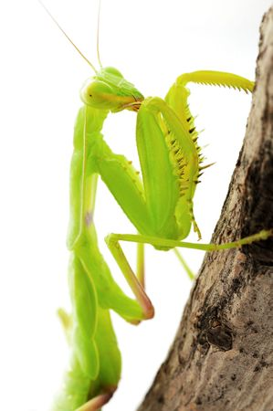 Praying green Mantis close up photo