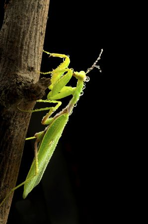 Green mantis in dew drops in studio photo