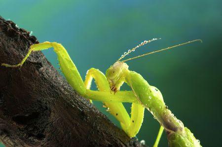 assail: Green mantis in dew drops in studio