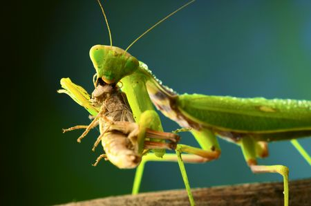 assail: Green mantis eats a grasshopper