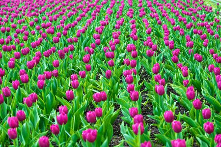 The tulips, blooming in a garden. Colorful flowers  photo