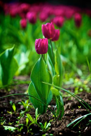 The tulips, blooming in a garden. Colorful flowers Stock Photo - 6562136
