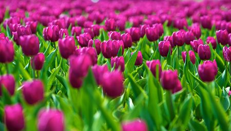 The tulips, blooming in a garden. Colorful flowers Stock Photo - 6562219