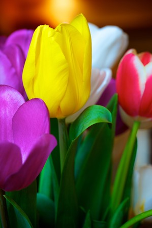 Blossoming tulips in a vase. Colorful flowers Stock Photo