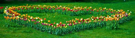 Blossoming tulips planted on a lawn in the form of heart photo