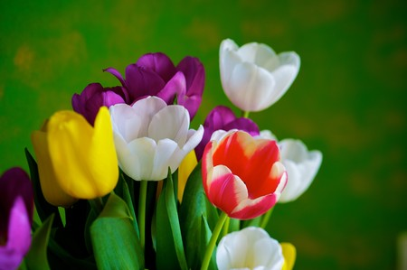 Blossoming tulips in a vase. Colorful flowers photo