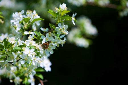 io: Butterfly Vanessa Io on apple tree blossom
