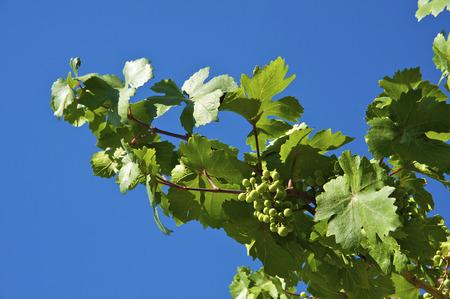 grape vines: Green grapes on the blye sky