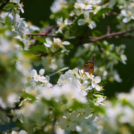 inachis: Butterfly Vanessa Io on apple tree blossom