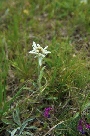a rare: Rare mountain flower an edelweiss