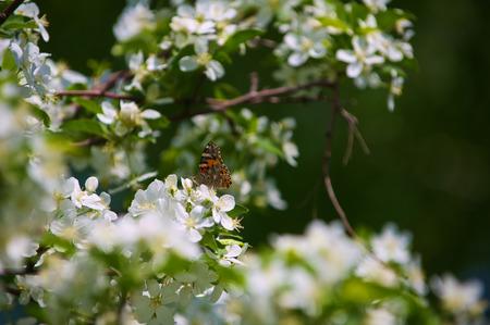 vanessa: Butterfly Vanessa Io on apple tree blossom
