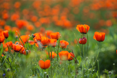 Natural flower background. Amazing view of colorful red poppy flowering.