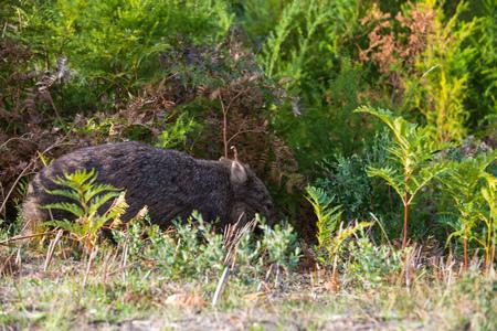 Fauna australiana - Wombat