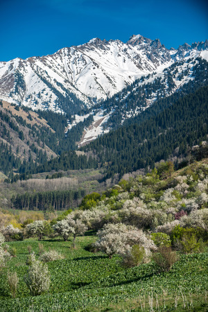 Gardens of blooming apples in the mountains of Almaty, Kazakhstan Stock Photo