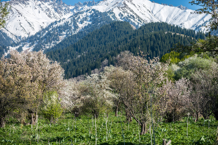 Gardens of blooming apples in the mountains of Almaty, Kazakhstan 스톡 콘텐츠