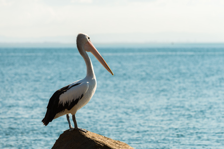 Pelicans in North Stradbroke Island, Queensland, Australia