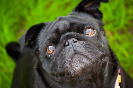 Portrait of a pug photo