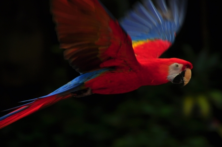 macaw: A red color macaw bird flying in the air Stock Photo