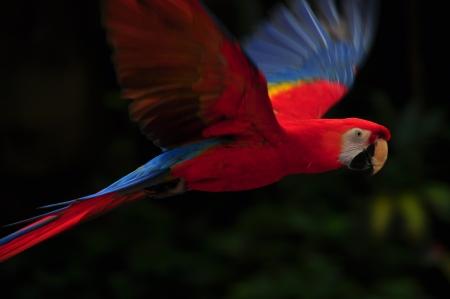 guacamaya: El color rojo de aves guacamaya volando en el aire Foto de archivo