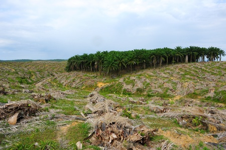 deforestacion: La deforestación de las plantaciones de palma