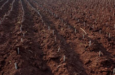 Grow cassava farm in filed photo