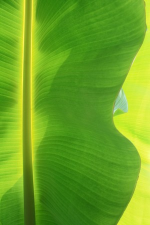 A green banana leaf background with lines photo