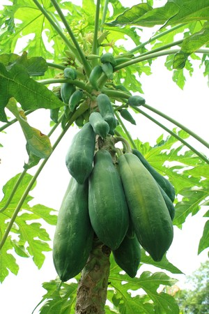 Close of papaya tree with fruits photo