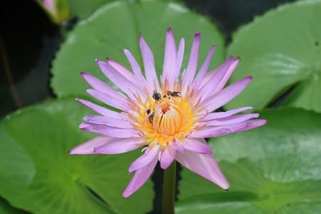 one purple lotus with yellow Stock Photo - 7401834