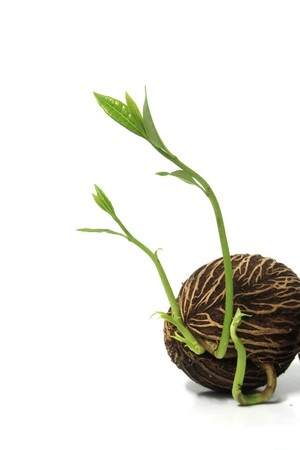 Grow seed on white background photo