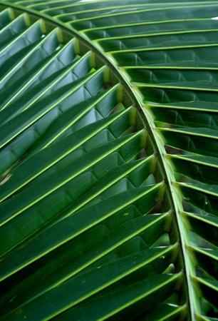 green fresh leaf of coconut background photo