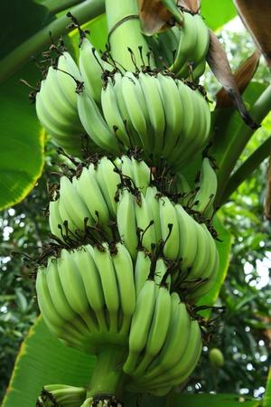 The green bananas in the garden photo