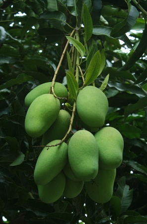 Green mangoes on the tree 免版税图像
