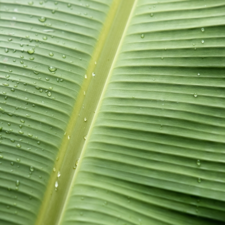 Banana leaf texture with water drop for background photo