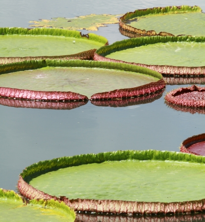Royal water lily in pond photo