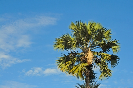 Betel nut tree on blue sky Stock Photo - 15683419